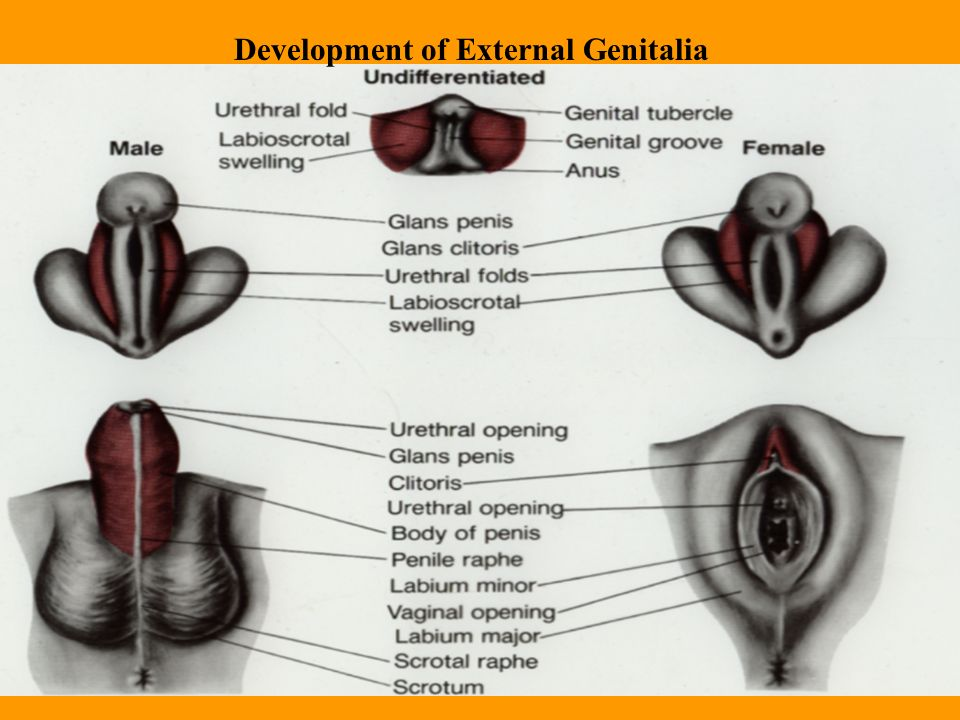 Hermaphrodite genitalia in humans