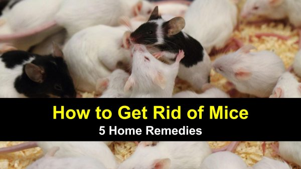 Mice control home remedies