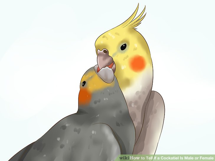 How to tell male cockatiel from female cockatiels
